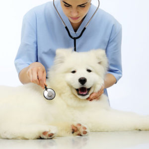 white-dog-at-the-vet